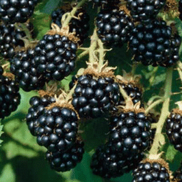 rsz_blackberries